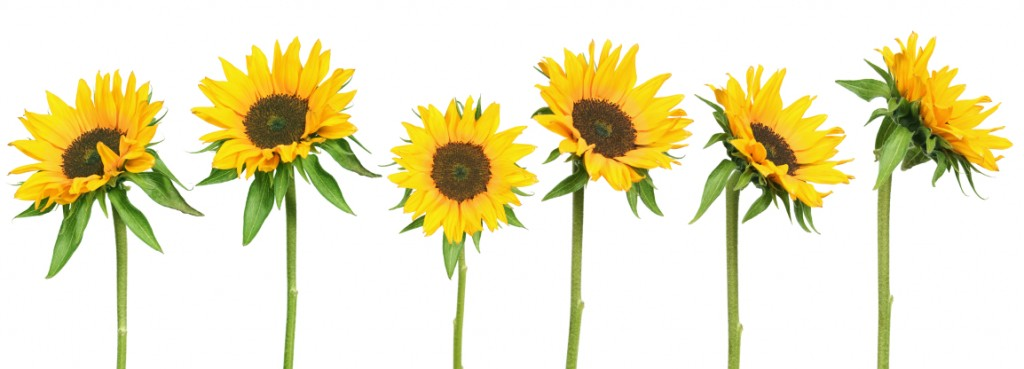 Sunflowers: The Symbol of Peace